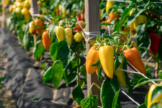Bell peppers ripen on the beds.