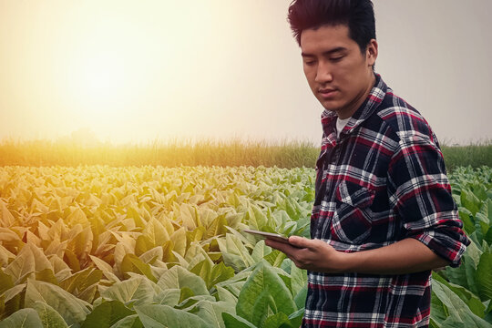 Young researcher Use a tablet to research And developing the Virgenier tobacco species