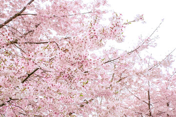 pink cherry blossom of Japan