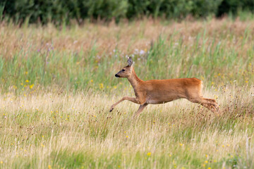 European roe deer (Capreolus capreolus) on the East Frisian island Juist, Germany.