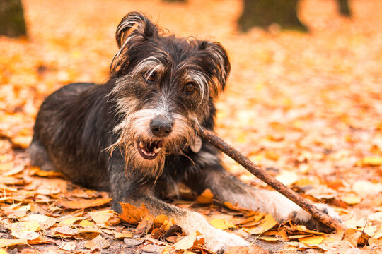 funny mix breed dog in the autumn leaves