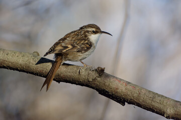 Short-toed Treecreeper (Certhia brachydactyla) perched on a branch