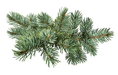 Fir tree and pinecone  isolated on white background