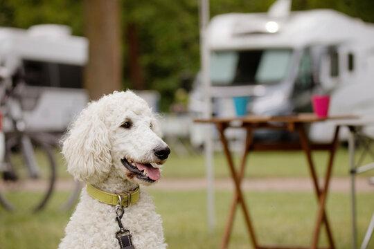 Hund, Pudel, auf einem Wohnmobilstellplatz