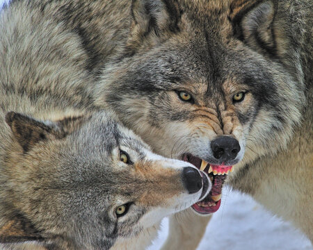 Timber Wolves engaged in social play - Canada