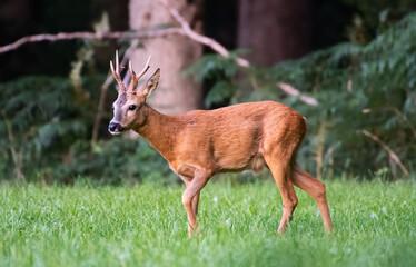 Roe Buck standing