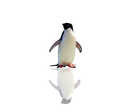 penguin isolated on white background