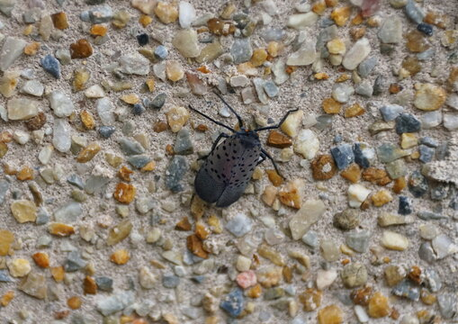 Close up of a spotted lanternfly on the ground