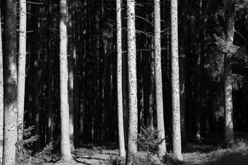 Wald Schwarzweiß Bäume Licht und Schatten