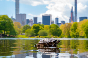 Cute turtles living in a pond in Central Park in New York City surrounded by skyscrapers