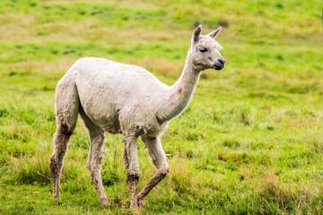 The llama after a haircut pasting