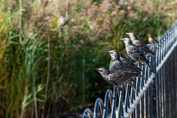 Starlings, sturnus vulgaris, perched on metal railings in autumn sunlight