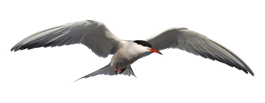 Adult common tern in flight. Isolated on white background. Close up. Scientific name: Sterna hirundo