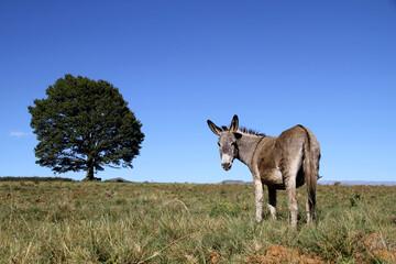 Landscape photo of a donkey on a hill. Blue sky. Tree. KwaZulu-Natal.