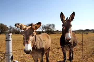 Landscape photo of two donkey in a winter-field. Northwest, South Africa. Asno-de-las-encartaciones breed.