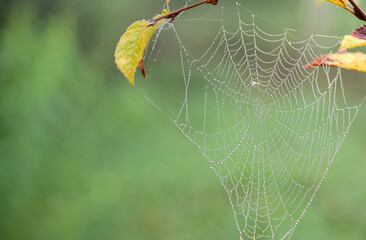 Close-up of a spider web with water droplets hanging on branches against a green background