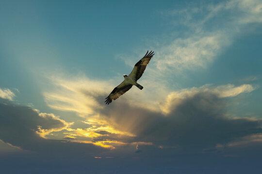 Osprey bird soaring high in evening sky looking for prey