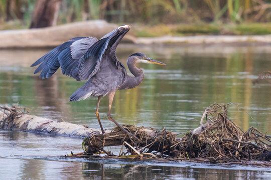 Great Blue Heron Settles into Position on a Logjam