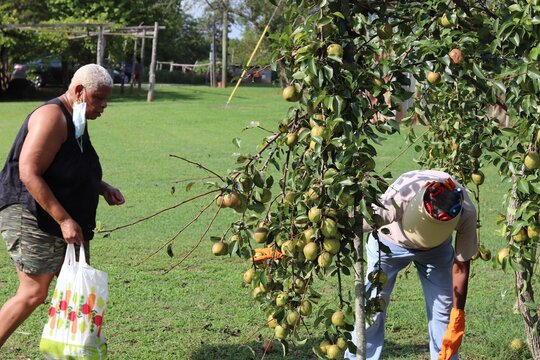 Ladies picking pears from the ground and one filling her bag with a mask dangling