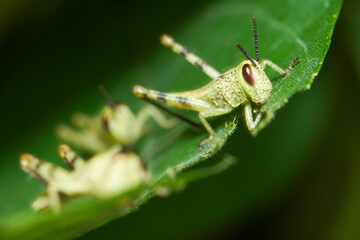 Macro photo of a group of nymph feeding on a green leaf, extreme close up photo of juvenile...