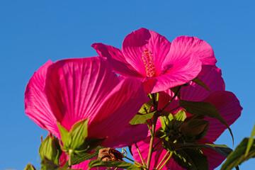 Blühender roter Hibiskus vor blauem Himmel
