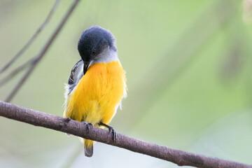 Orange-bellied Flowerpecker in thailand.