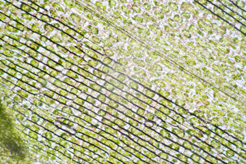 Cell structure Hydrilla, view of the leaf surface showing plant cells under the microscope for classroom education.
