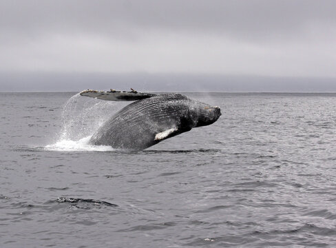 Jump of a humpback whale (picture 6 in a series of 8). The wheather is typical for a summer day in Monterey (California) bay, grey and low hanging clouds.