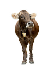 Beautiful brown cow with bell isolated on white background.