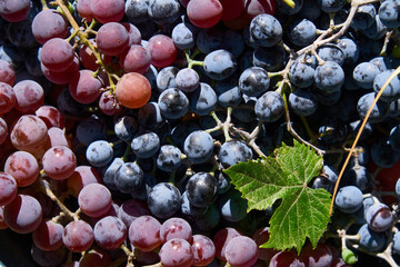 background of different sorts of grapes