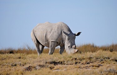 Wild african white rhino grazing in Kruger National Park, South Africa