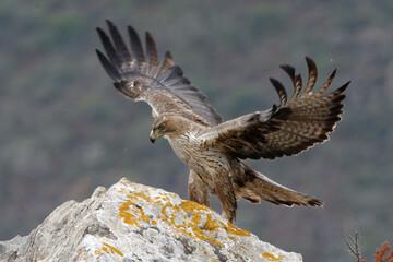Bonelli's Eagle (Aquila fasciata) on a rock