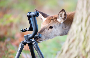 Red deer hind curiously checking camera tripod