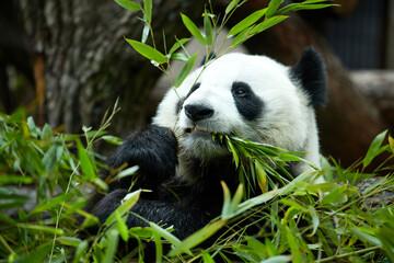 Close-up portrait of a giant panda. Bamboo bear giant panda eating bamboo
