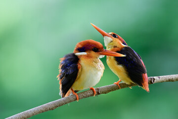 Pair of Black-backed or Oriental dwarf kingfisher teasing each other dueing perching tree branch in...