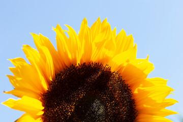 Wall Murals Sunflower Sunflower