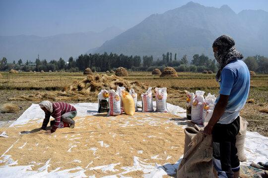 Kashmiri farmers collect winnowed rice grain after a harvest on the outskirts of Srinagar