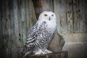 snowy owl on a branch