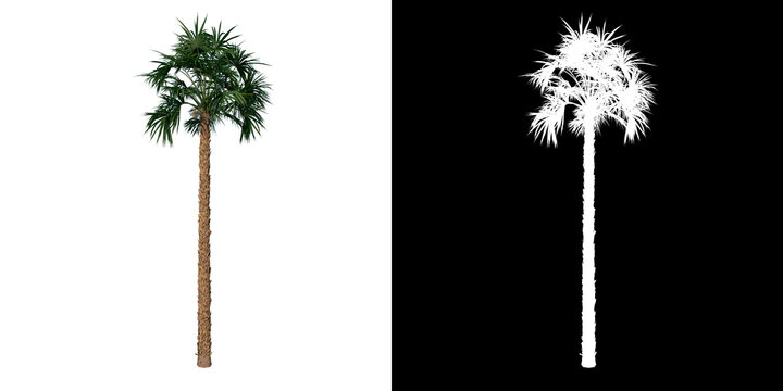 Front view of plant (Palmetto Palm Tree 2) tree png with alpha channel to cutout made with 3D render