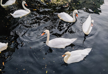 Beautiful white swans swim in the water on a large lake in a bunch and feed on food. Favorite and domestic animals in the countryside.