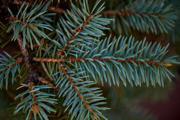Green spiny branches of spruce close-up