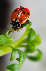 Macro view of ladybug sitting on the green leaf.