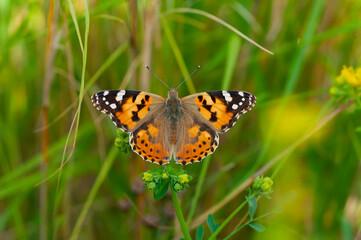 Papiers peints Papillon Macro shots, Beautiful nature scene. Closeup beautiful butterfly sitting on the flower in a summer garden.