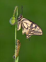 Photo sur Plexiglas Papillon Amazing moment , Butterfly and caterpillar