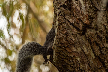 one cute brown squirrel checking inside a big hole on the tree trunk with big tail and one leg hanging outside
