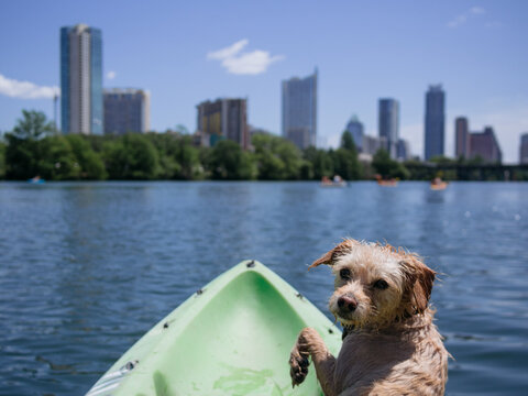 Puppy dog looking at camera while kayaking with Austin skyline