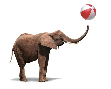 Happy joyful elephant swinging his trunk trowing a bath ball in pure joy and playfulness, isolated on white background. Symbol for happy funny animals and joyful cheerful celebrations.