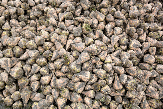 large heap of sugarbeet harvest