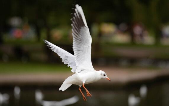 Landgull coming in to land on urban lake