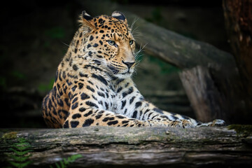 Portrait of amazing Amur leopard, Panthera pardus orientalis, looking directly at camera against Dark, natural background. Critically Endangered animal .